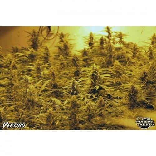 Vertigo - Paradise Seeds