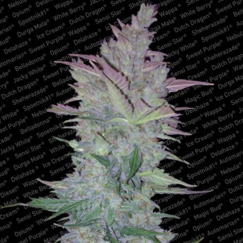 ורטיגו - Paradise Seeds
