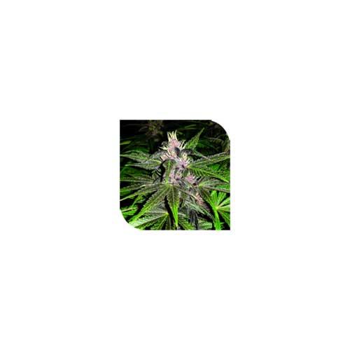 紫罗兰色阴霾 -  Plantformers