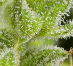 קסם לבן - Mandala Seeds