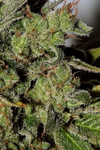 하얀 창문 - Seedsman Seeds