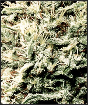 Λευκός ρινόκερος - Green House Seeds