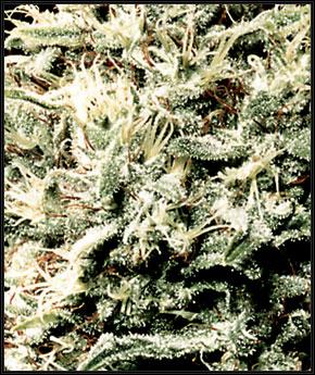 Baltasis Rhino - Green House Seeds