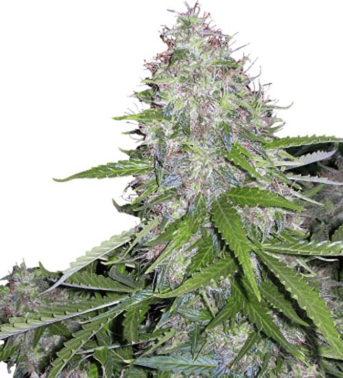 白矮星 -  Buddha Seeds