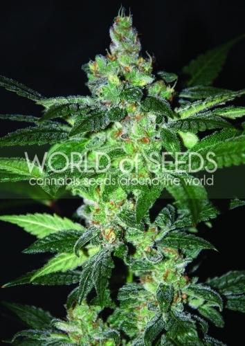 אמנזיה - World of Seeds