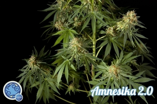 Amnesika 2.0 - Philosopher Seeds