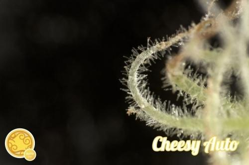 Auto Stilton - Philosopher Seeds