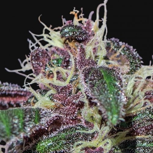 Ayahuasca Purple - Barneys Farm Seeds