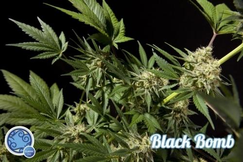 黑色炸弹 -  Philosopher Seeds