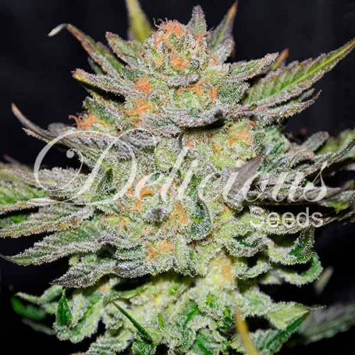 Blue Ace Auto CBD - Delicious Seeds