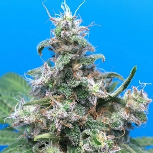 Blue Mammoth Autoflowering - Barneys Farm Seeds