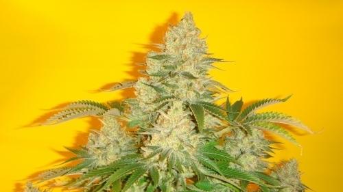 כחול איגואנה - Mosca Seeds