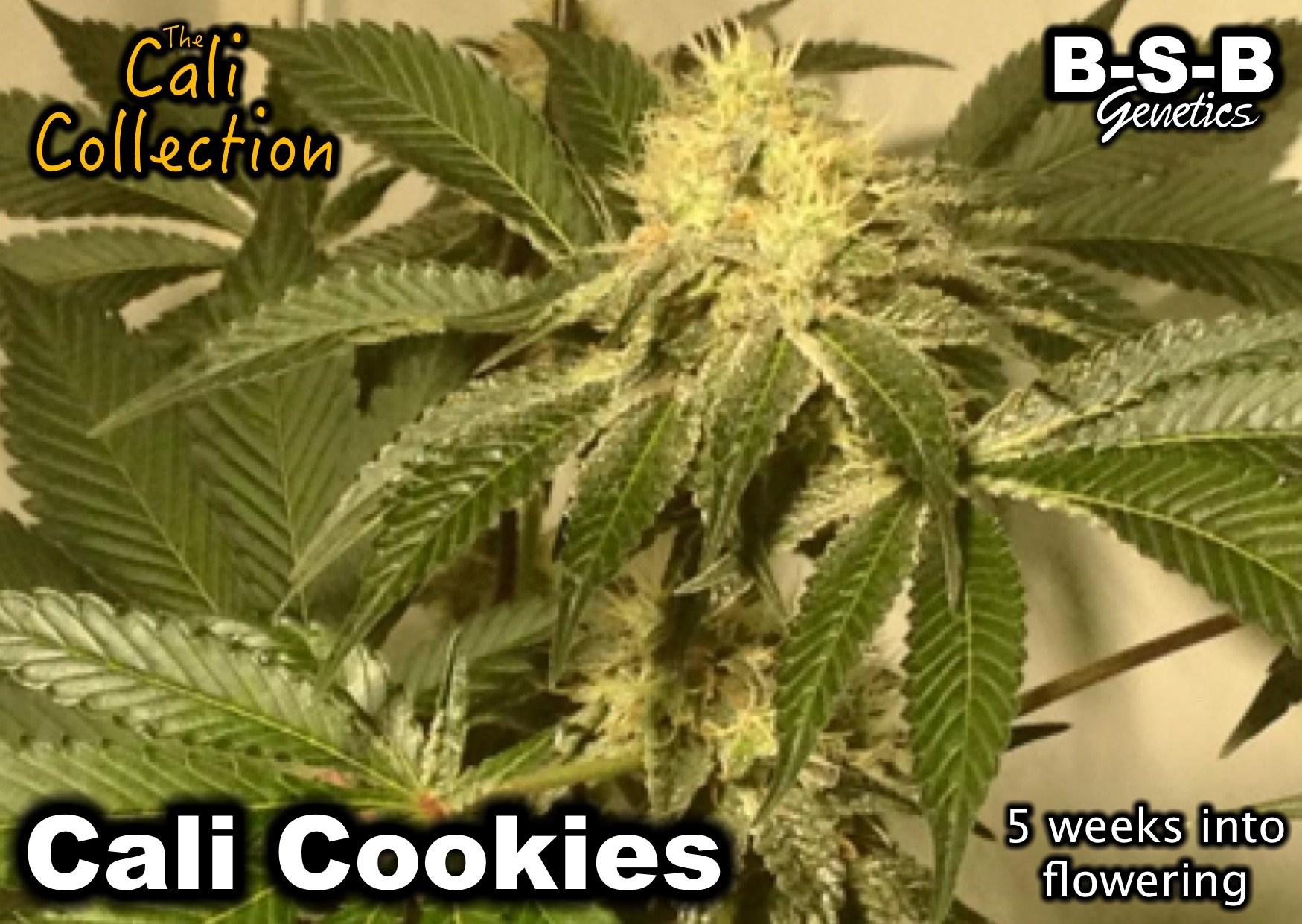 עוגיות קאלי - גנטיקה של BSB
