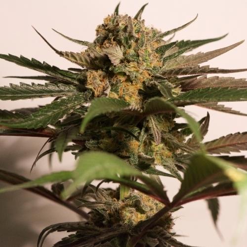 CBD蓝鲨 -  Barneys Farm Seeds