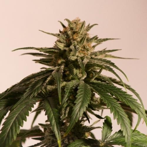 CBD Critical Cure - Barneys Farm Seeds