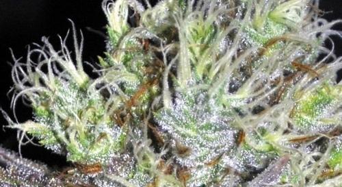 CBD Sweet 'n Sour אלמנה - Seedsman Seeds