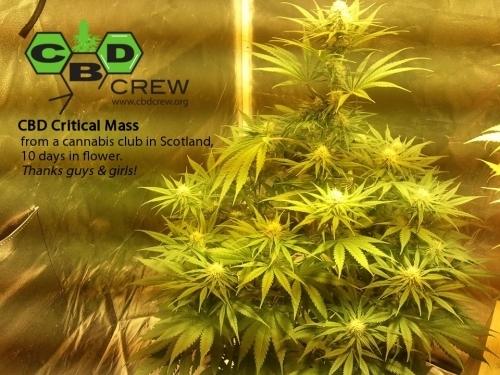CBD临界质量 -  CBD Crew Seeds