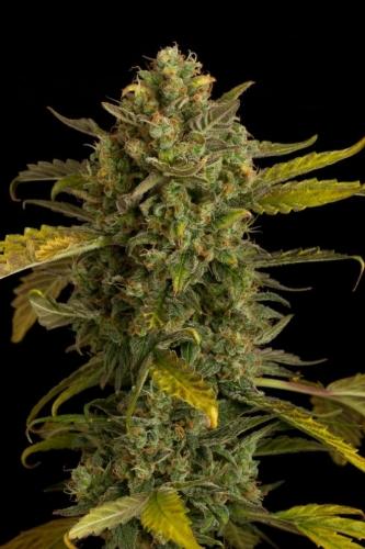 Blue Kush Autoflowering  -  Dinafem Seeds