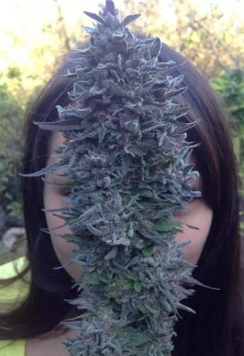 蓝寡妇 -  Dinafem Seeds
