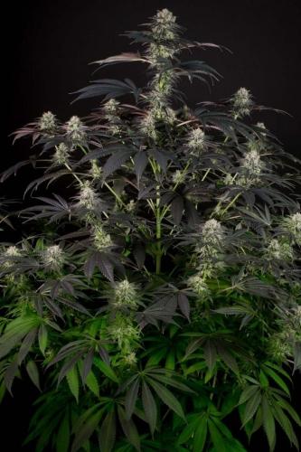 Bubba Kush CBD - Dinafem Seeds
