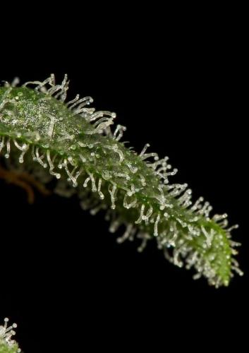 גבינה Autoflowering - Dinafem Seeds