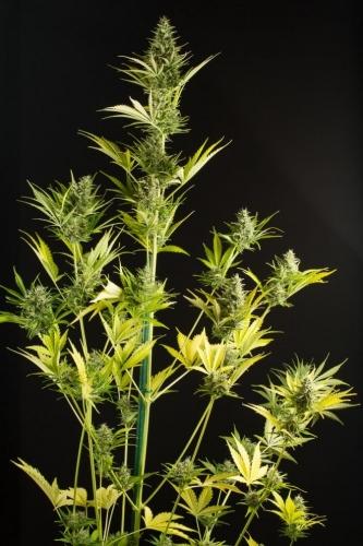 גבינה XXL Autoflowering - Dinafem Seeds