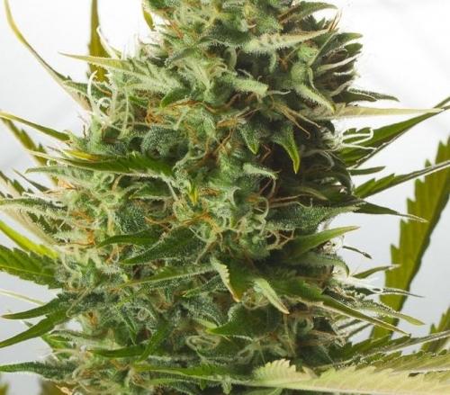 Queso XXL Autofloreciente - Dinafem Seeds