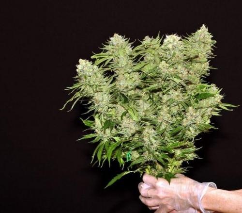 Dinachem - Dinafem Seeds