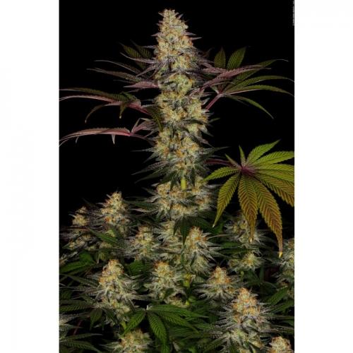 El Dorado OG - Paradise Seeds