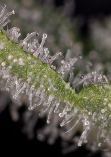 Haze 2.0 Otomatik Akışı - Dinafem Seeds