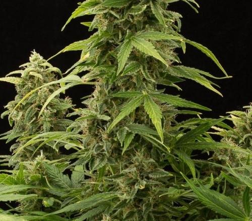 Haze 2.0 Autofloraison - Dinafem Seeds