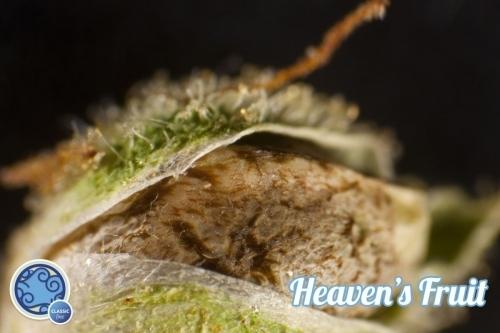 פרי של השמים - Philosopher Seeds