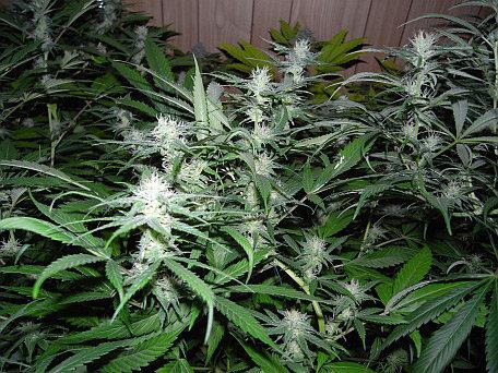 שירות הבריאות הלאומי - Mr Nice Seeds