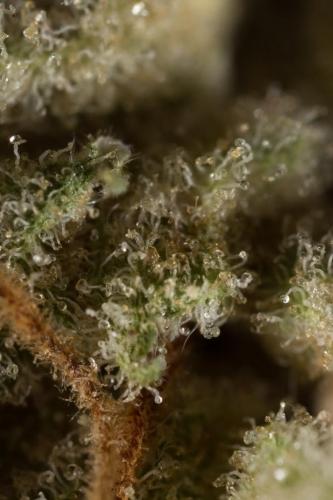 מיץ תפוזים - Dinafem Seeds