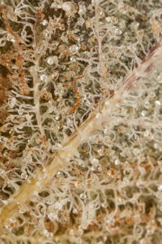 최초의 기억 상실증 - Dinafem Seeds
