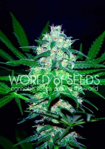 עמק פקיסטן - World of Seeds
