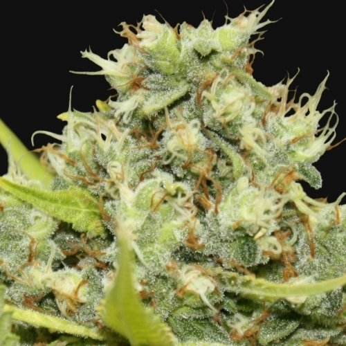 Pineapple Chunk - Barneys Farm Seeds