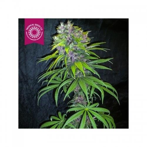 אפרו - Tropical Seeds