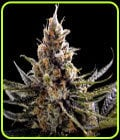 SALE - 24K Gold - DNA Genetics-DNA Genetics Seeds