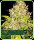 AK 49 Auto-Vision Seeds