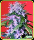 SOLGTE - Berry Bomb - Bomb Seeds-Bomb Seeds