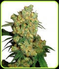 Big Bud-Sensi Seeds