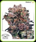 Blueberry-Dutch Passion Seeds