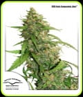 CBD Auto Compassion Lime-Dutch Passion Seeds