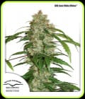 CBD Auto White Widow-Dutch Passion Seeds