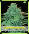 SALE - Cheddarhead - Alphakronik Genes