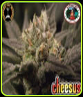 Cheesus-Big Buddha Seeds