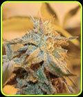 Cherry Wonka-tamno konj genetiku