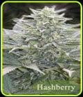 Hashberry-Mandala Seeds