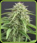 SALE - Hippie Killer - Seedism Fröer